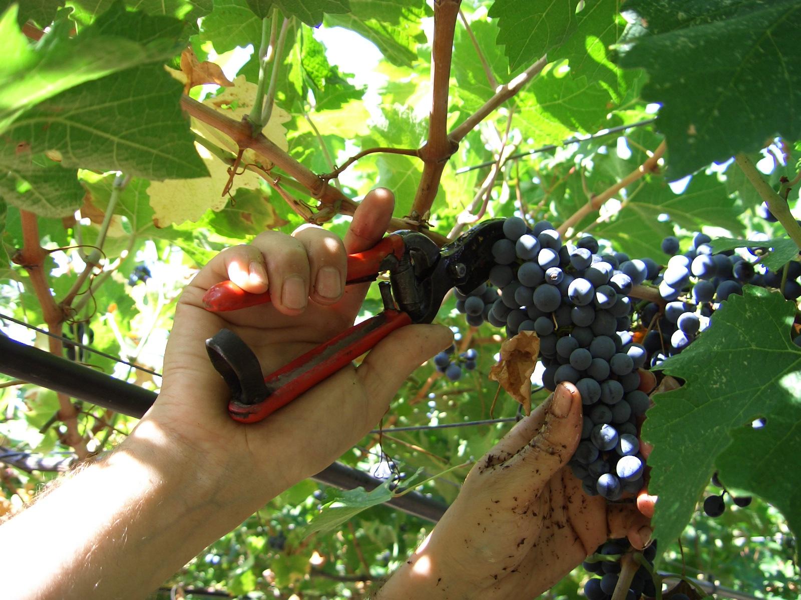 Ocm Vino: parte la vendemmia verde, scade il 31 Maggio.